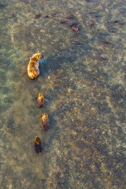 медведь, камчатка, южно-камчатский заказник, медведи камчатки, курильское озеро, река озерная, кроноцкий заповедник, камчатский край, медведица, медвежата, лосось, нерка, dji, dji mavic Медвежья школа. Первые уроки.photo preview