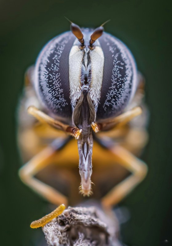 macro wildlife closeup insects spiders Portrait of hoverflyphoto preview