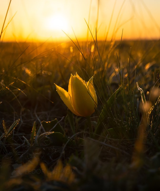 ставропольский край, ставрополье, цветы, природа, флора, степь, тюльпан, цветение, солнце, цветок, рассвет, шренка, Тюльпаны в степиphoto preview