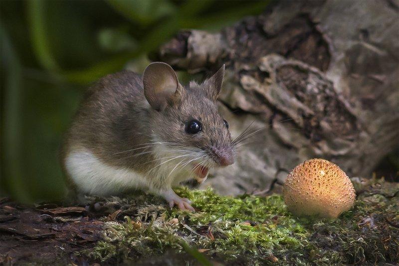 мышь, удивление, гриб, дождевик \