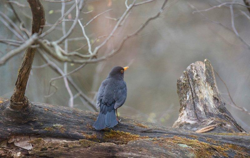 птица дрозд весна лес природа Чёрный дроздphoto preview