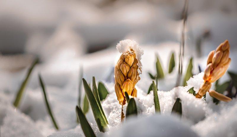 природа, макро, весна, цветы, гиацинт, снег, капризы погоды Во Францию два гренадера...photo preview