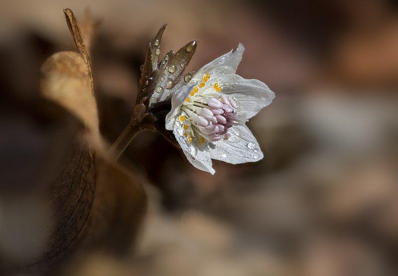 весенник звезчатый etanthis stellata  весна март владивосток остров русский Из под старой листвыphoto preview