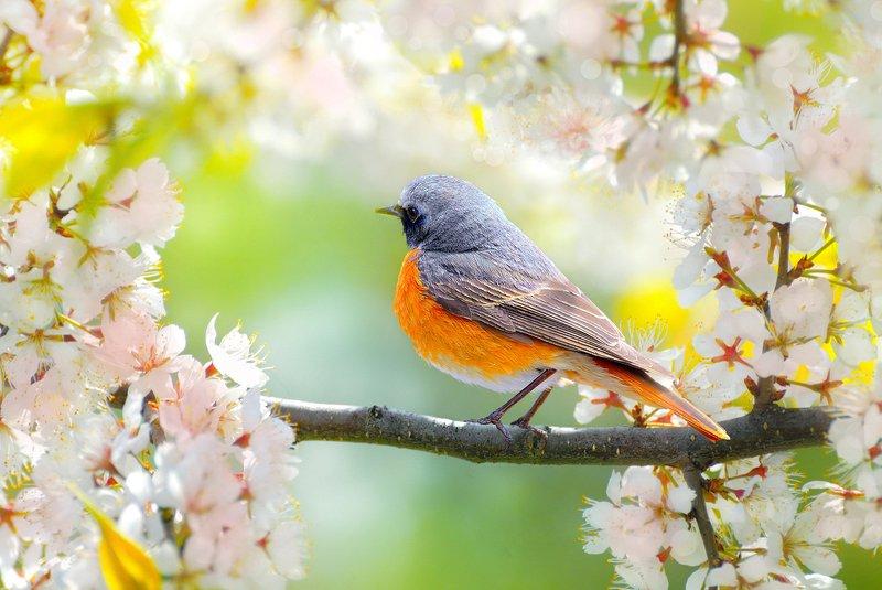 природа, фотоохота,  птицы, животные, весна, горихвостка В весеннем садуphoto preview
