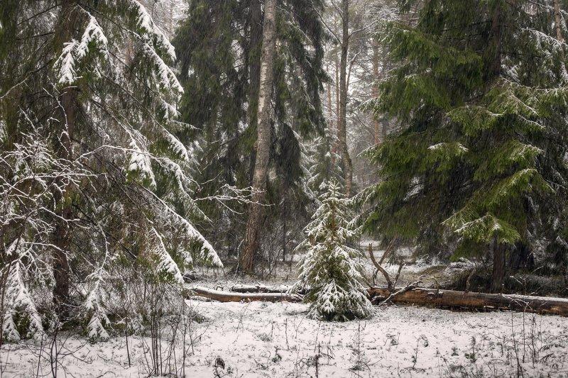 лес апрель снегопад елки Этюд в снегопадphoto preview