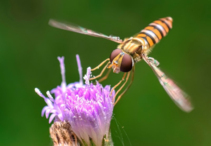 macro wildlife closeup insects spiders Tiny hoverfly on flower photo preview