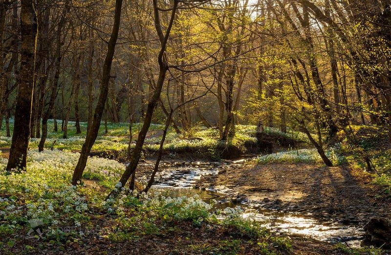 ставропольский край, путешествие, цветы, природа, флора, толстостенка крупнолистная, цветок, первоцветы, в лесу, лес, лесное, весна, деревья, дерево, листва, ручей, рассвет, лучи, солнце, контур, Лесной рассветphoto preview