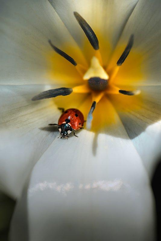 природа, макро, весна, цветы, тюльпан, насекомое, жук, божья коровка Побег на рывокphoto preview