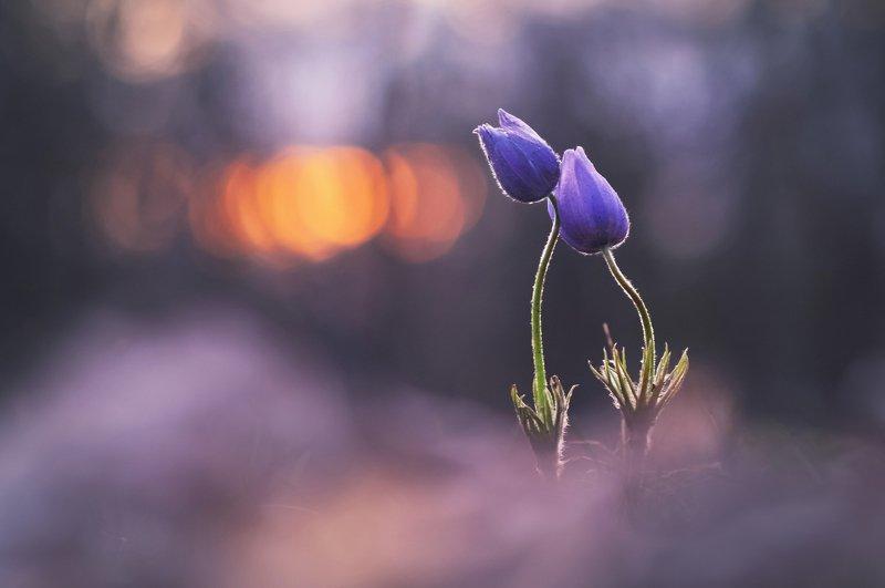 сон-трава, закат, весна, природа, минск, уручье Рядом с тобой...photo preview