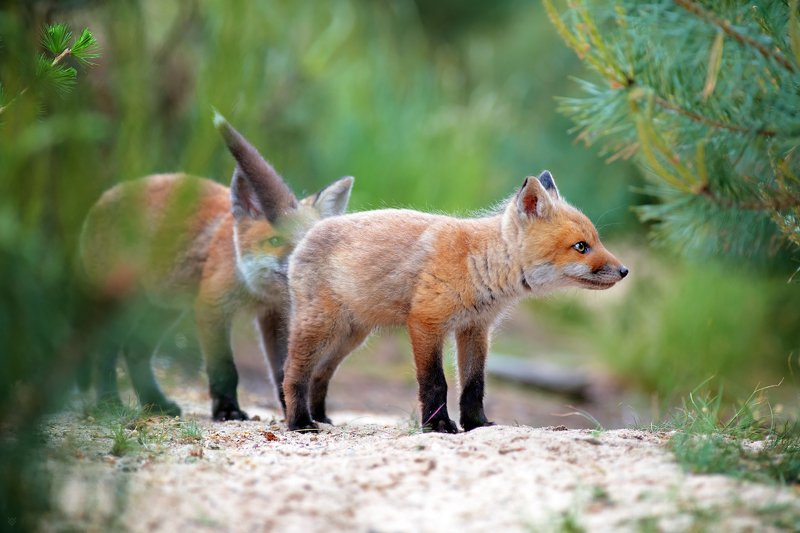 red fox, fox, animal, wildlife, forest Smell of freedomphoto preview