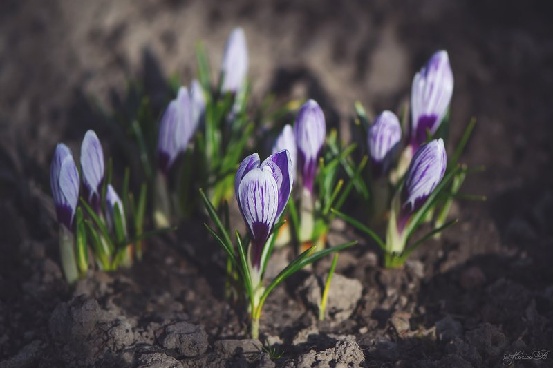 весна, крокусы, первоцветы, Нежные крокусыphoto preview