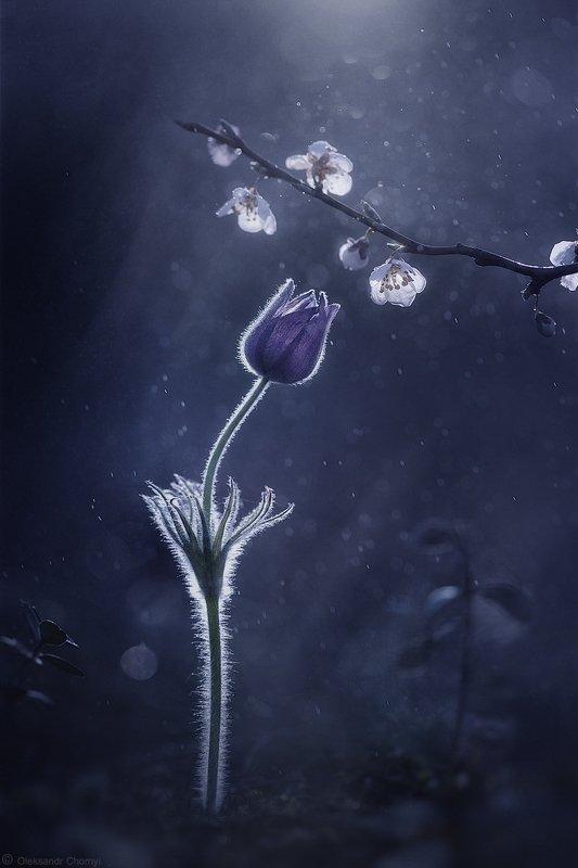 украина, коростышев, природа, лес, полесье, макро истории, макро мир, цветы, сон трава, прострел раскрытый, весна, гармония, тишина, уединение, любовь, нежность, счастье, жизнь, вдохновение,  контровой свет, фотограф, чорный, Близостьphoto preview