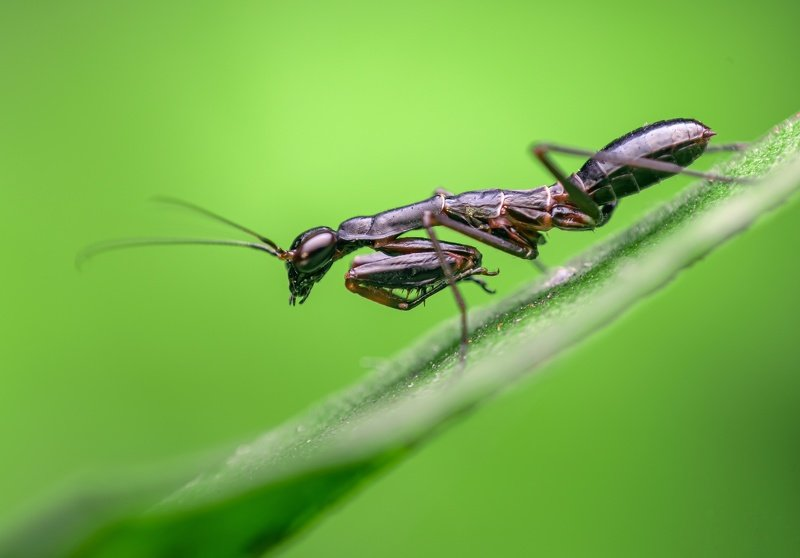 macro wildlife closeup insects spiders The ant mantisphoto preview