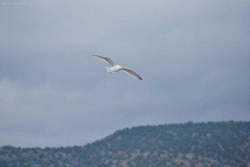 крым, чайка, полет, небо, горы, море Полет чайкиphoto preview