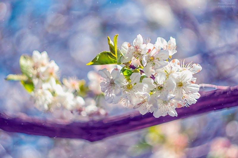 макро, природа, цветы, вишня, боке, гелиос, весна, macro, nature, flowers, cherry, bokeh, helios, spring, кусочек весныphoto preview