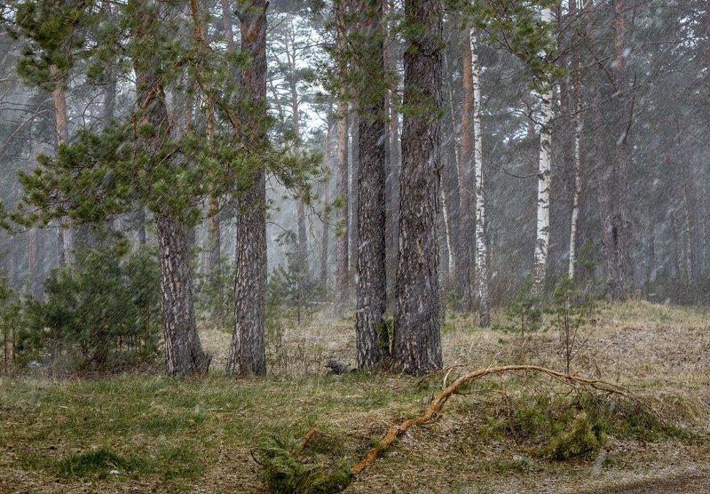 снегопад лес ветер Лесной этюдphoto preview