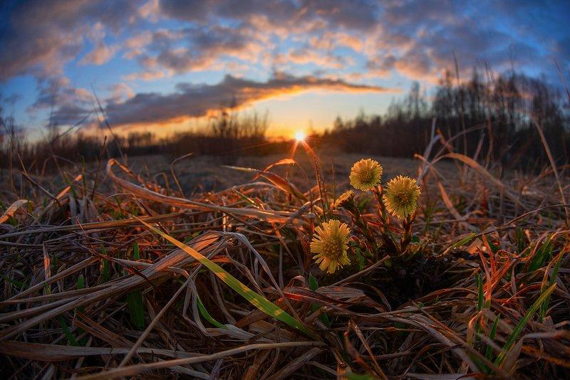 мать-и-мачеха, весна, закат, солнце, цветы символ весныphoto preview