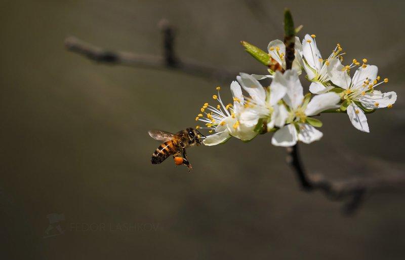 ставропольский край, ставрополье, весна, пчела, цветущее, слива, цветки, фруктовое, насекомое, мёд, Пчелаphoto preview