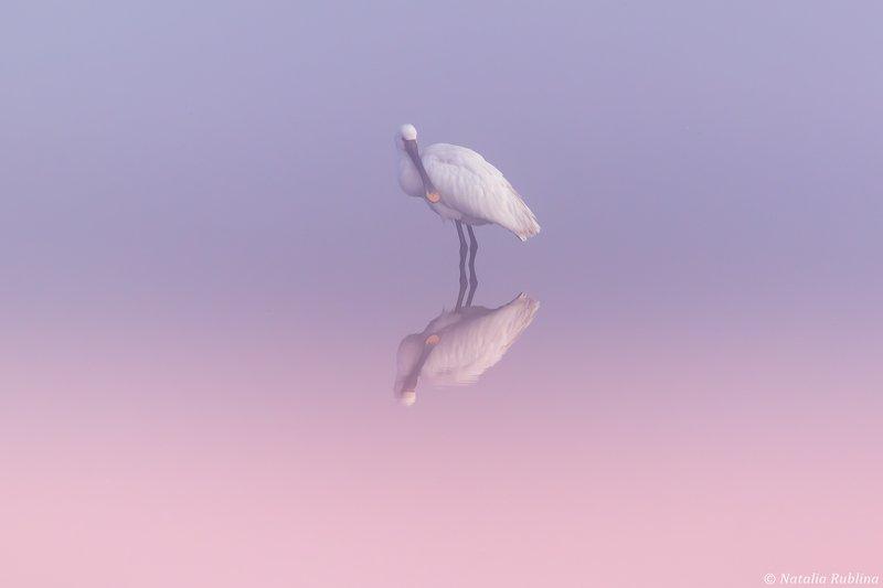 природа,птицы,животные,рассвет,утро,туман,отражение,птица,колпица,минимализм Колпицаphoto preview