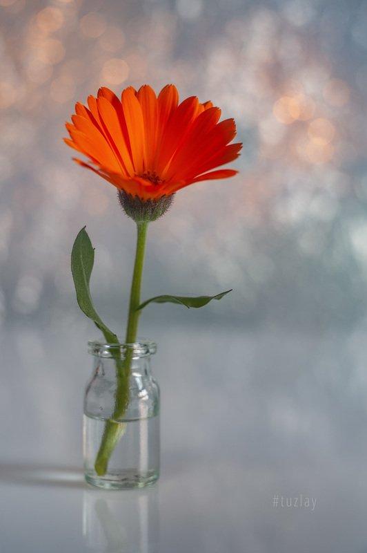 цветок календулы, календула, гелиос, боке Про полезный цветок #3photo preview