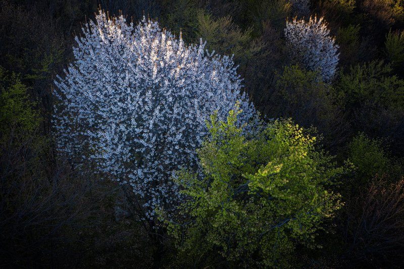#nature #forest #aerial #blossom cherry #spring #springtime Above the forestphoto preview