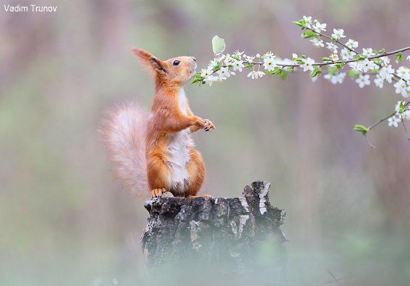 белка, весна, squirrel Весенняяphoto preview