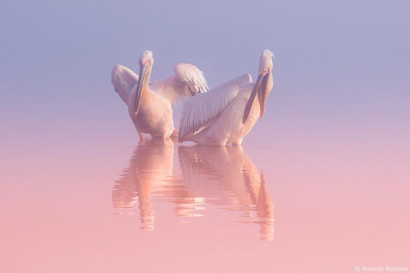 пеликаны,белые пеликаны,птицы,животные,минимализм,природа Два Пеликана ...photo preview