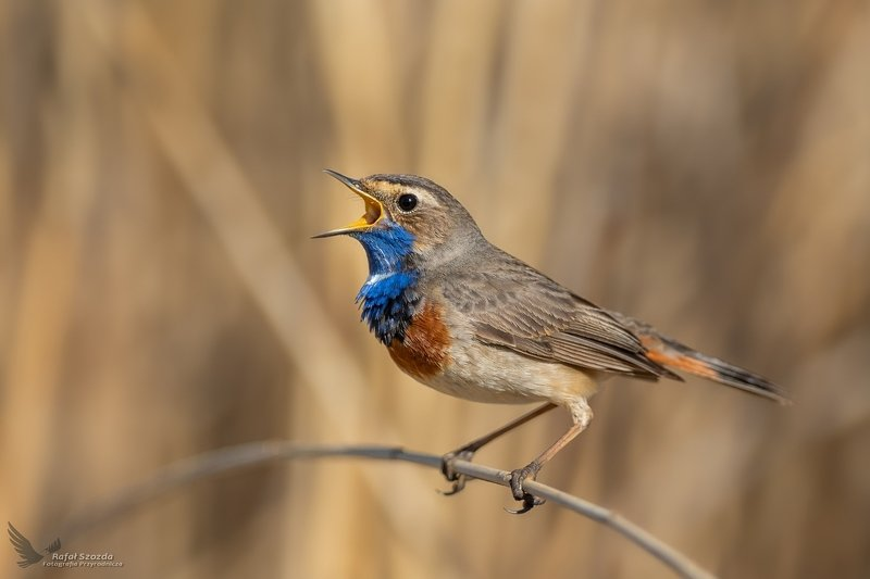 birds, nature, animals, wildlife, colors, springs, little, nikon, nikkor, lens, lubuskie, poland Podróżniczek, Bluethroat (Luscinia svecica) ... 2020rphoto preview