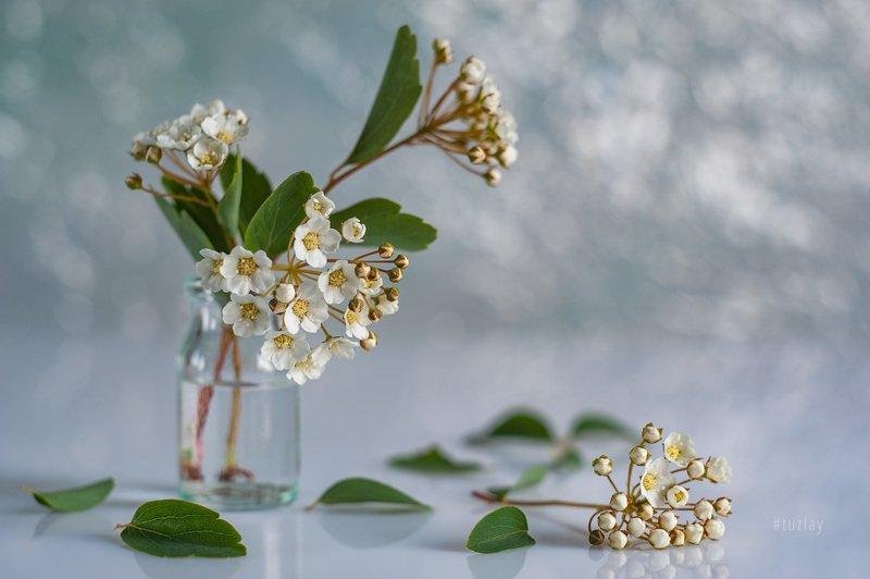 спирея, весна во флаконе, невеста, гелиос 44 А вот и апрельская спиреяphoto preview