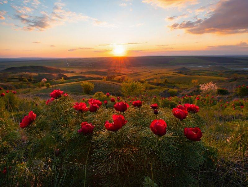 ставропольский край, открывая ставрополье, путешествие, природа, степь, трава, луг, флора, закат, пион, воронец, пион узколистный, солнце, красный, воронец, ставропольская возвышенность, холм, гора, Ставропольские пионыphoto preview