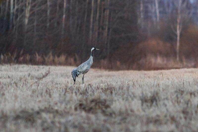 журавль, птицы, бердинг, birds, birdwatching, crane Журавлиphoto preview