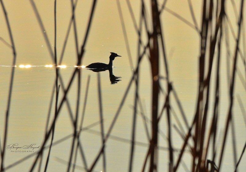 рассвет, утка, чомга С шлейфом солнечных брызгphoto preview