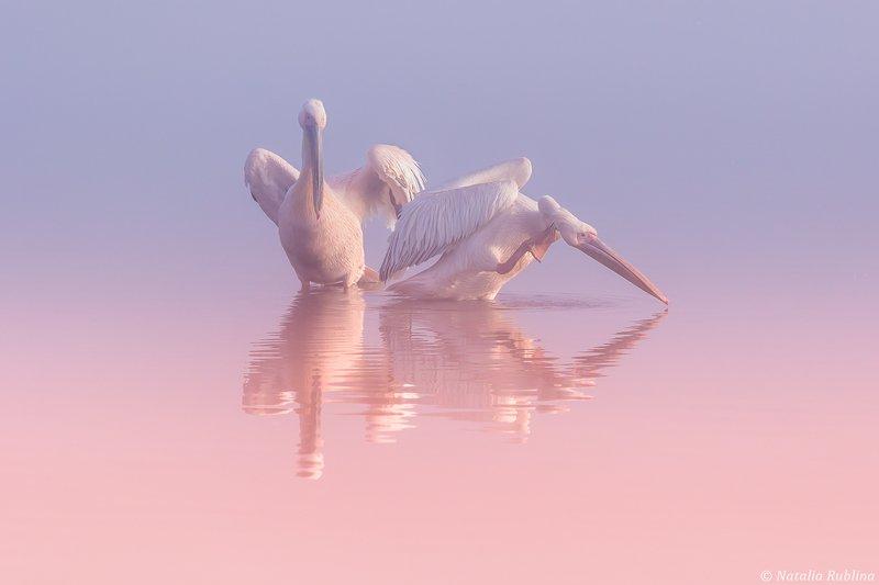 пеликаны,белые пеликаны,ангелы,птицы,животные,утро,минимализм,умиротворение,природа Два Пеликана ...photo preview