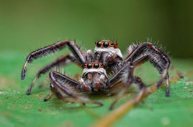 macro wildlife closeup insects spiders Cannibalism of two striped jumper malesphoto preview