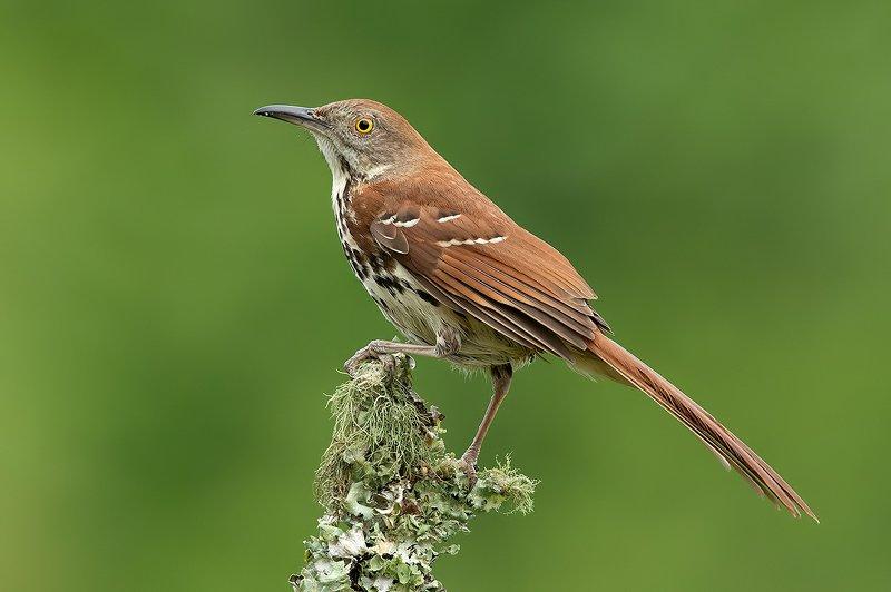 коричневый пересмешник, brown thrasher, пересмешник, Коричневый пересмешник -Brown Thrasherphoto preview