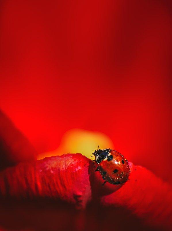 природа, макро, весна, цветы, тюльпан, насекомое, жук, божья коровка Огни рампыphoto preview