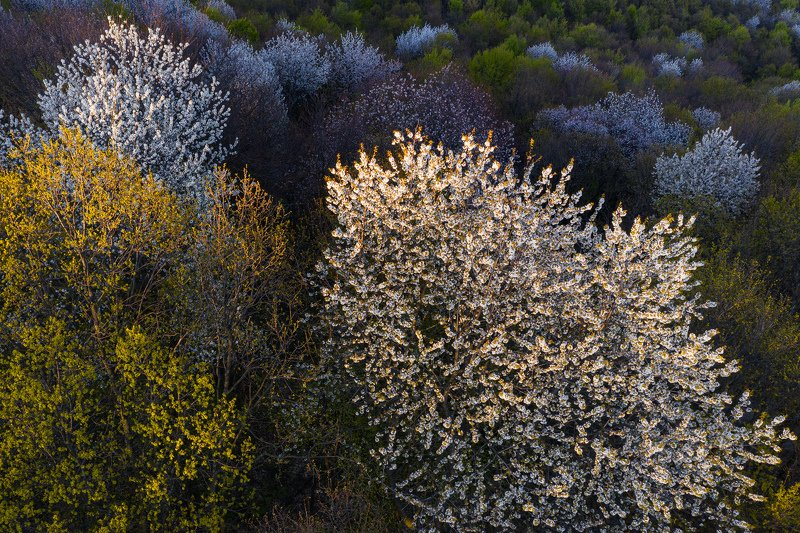 #aerial #nature #forest #blossom cherry #sunset light #natural light #landscape #aerial #drone photography The beauthy of a blosom forestphoto preview
