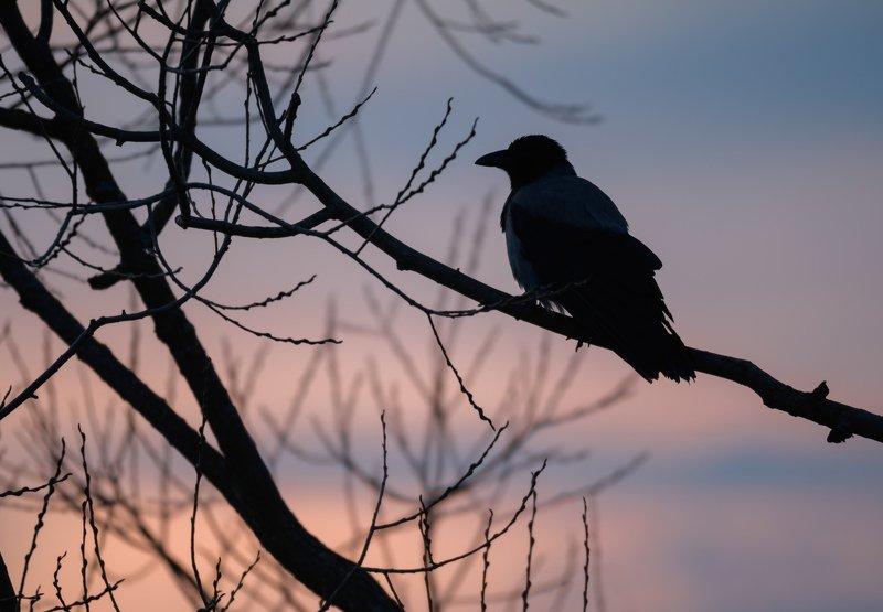 серая ворона, закат, птица на закате, ветви, силуэт, силуэт птицы, Corvus cornix, Одинцовский район Созиданиеphoto preview