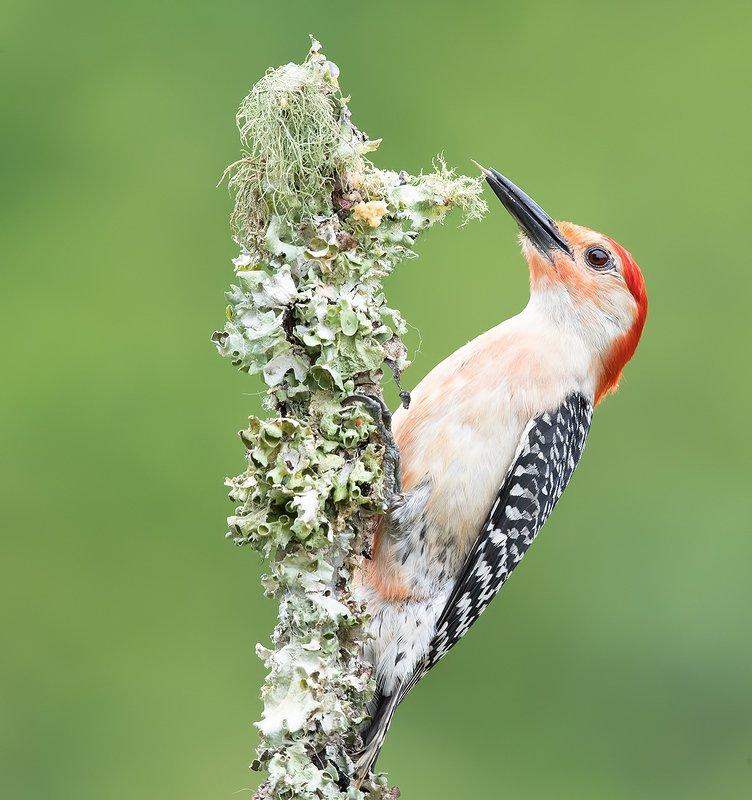 дятел, каролинский меланерпес, red-bellied woodpecker, woodpecker male. Red-bellied Woodpecker - Каролинский меланерпесphoto preview