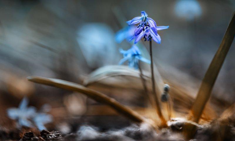 природа, макро, весна, цветы, пролеска Синий платочекphoto preview
