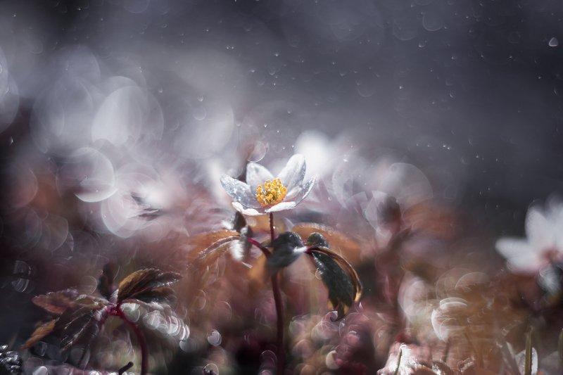 ветреница цветы весна природа красота боке Ветреницаphoto preview