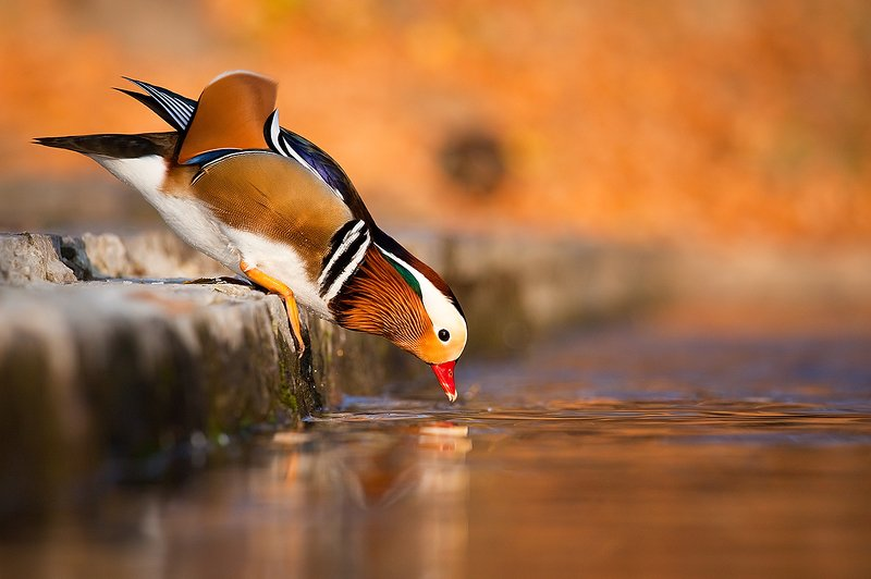 Manadarin duckphoto preview
