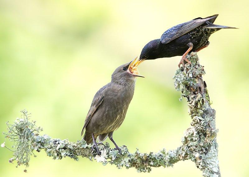 обыкновенный скворец, european starling, скворец, starling Обыкновенный скворец - European Starlingphoto preview