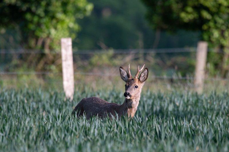 roe deer; wild; nature; animals; outdoors; deer family; doe; animal wildlife Roe deer in springphoto preview