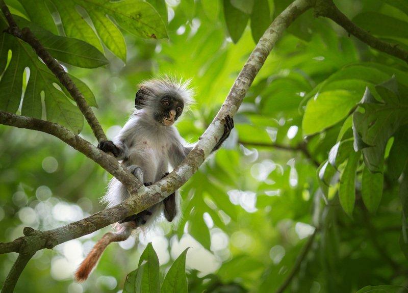 колобус , примат, занзібар ,африка ,джозани , национальный парк , занзибар , обезьяна ,zanzibar Колобусphoto preview