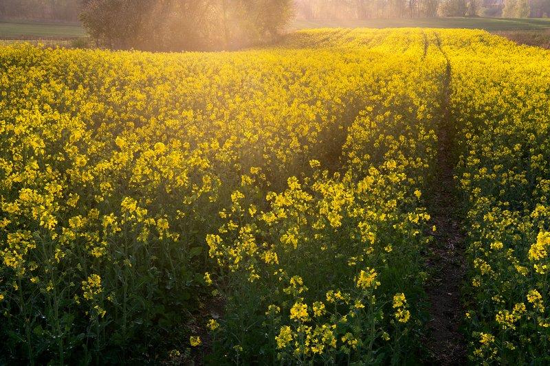 rzepak, nature, landscape, farm, sun, colors, рзепак, природа, пейзаж, ферма, солнце, цвета, Pole rzepakuphoto preview