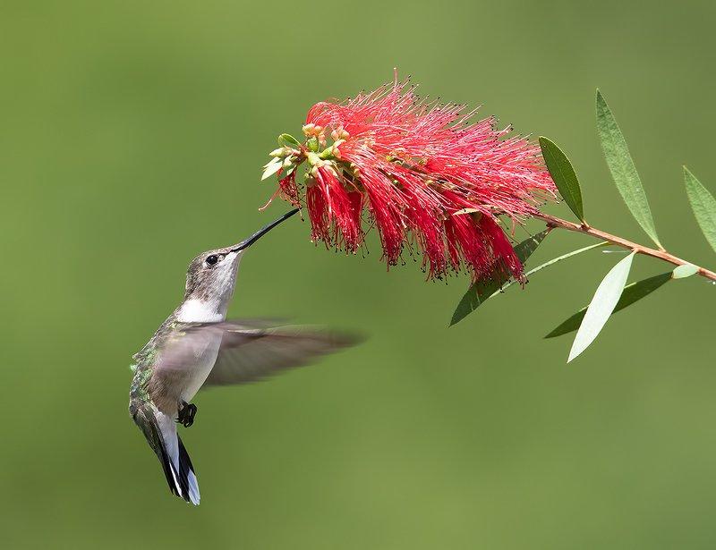 колибри,ruby-throated hummingbird, hummingbird Hummingbird flight - Колибриphoto preview