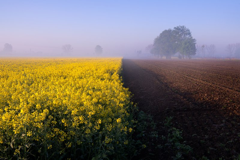 rzepak, farm, field, nature, morning, foggy, sunrise Pole rzepakuphoto preview