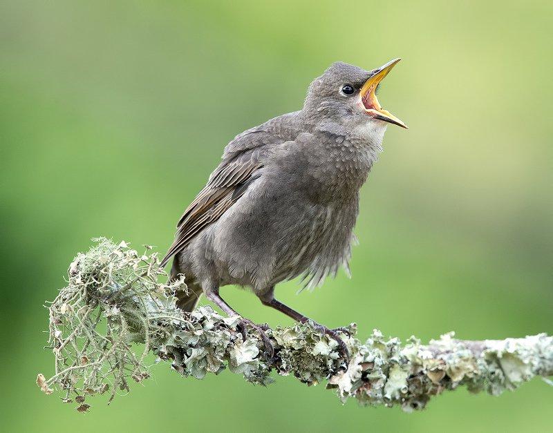 обыкновенный скворец, european starling, скворец, starling Cлеток. Обыкновенный скворец - I\'m still hungryphoto preview