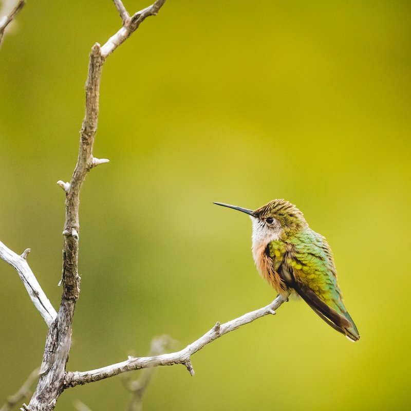 Broad-tailed hummingbirdphoto preview